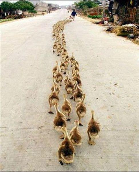 多すぎるカモの行列