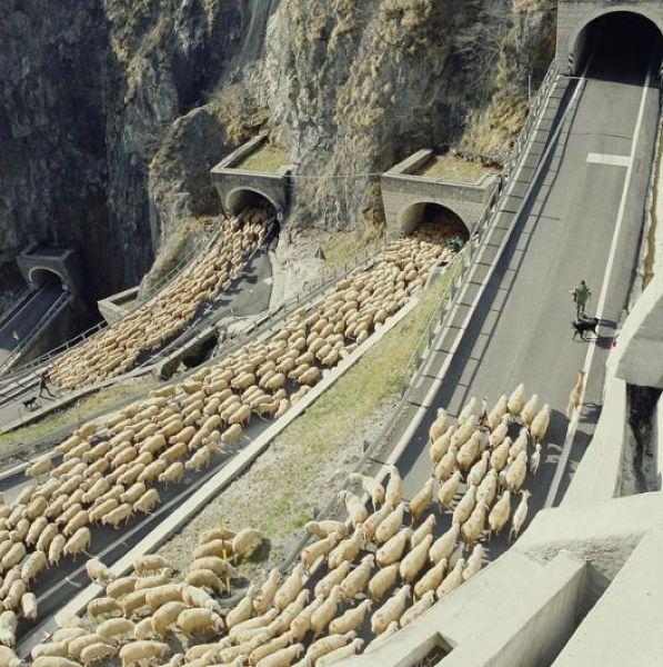 羊の大群がトンネルを通る