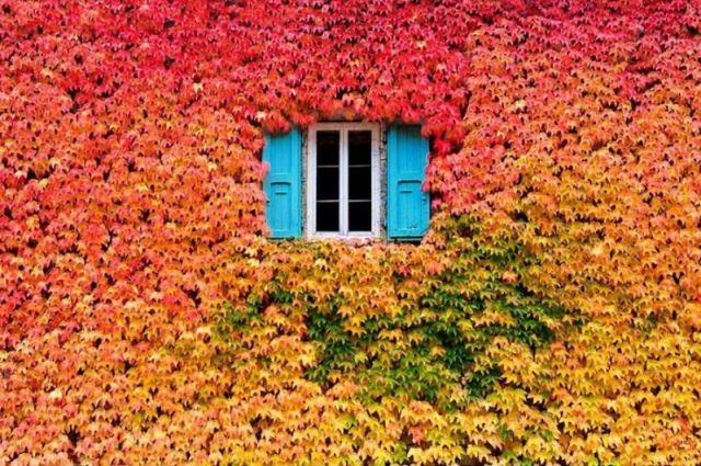 紅葉したツタで覆われた窓