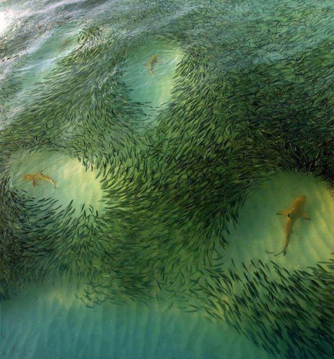 サメを避ける魚の群れ